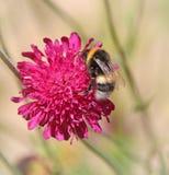опылять цветка пчелы Стоковая Фотография