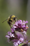 опылять цветка пчелы Стоковое Фото