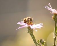 опылять цветка пчелы Стоковое Изображение RF