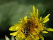 Опыляя пчела Стоковые Фото