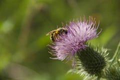 Опыляя пчела Стоковое Изображение