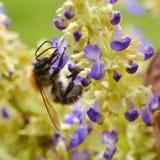 Опыляя пчела Стоковая Фотография RF