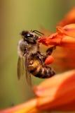 Опыляя пчела стоковые изображения