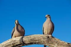 Оплакивая голуби Стоковое Изображение