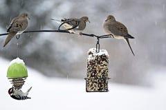 Оплакивая голуби - macroura Zenaida Стоковые Изображения