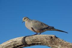 Оплакивая голубь на ветви дерева Стоковые Фото