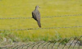 Оплакивая голубь на загородке Стоковая Фотография RF