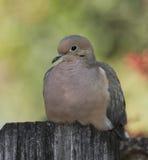 Оплакивая голубь на загородке Стоковое Изображение