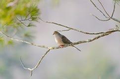 Оплакивая голубь, черепаха нырнул macroura Zenaida на ветви дерева Стоковое Изображение RF