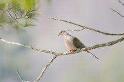 Оплакивая голубь, черепаха нырнул macroura Zenaida на ветви дерева Стоковые Изображения