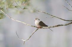 Оплакивая голубь, черепаха нырнул macroura Zenaida на ветви дерева Стоковое фото RF