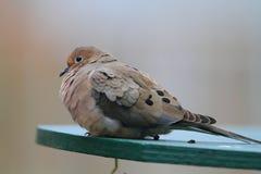Оплакивая голубь Стоковые Фото