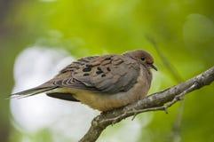 Оплакивая голубь Стоковая Фотография RF