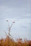 3 оплакивая голубя в дереве Стоковое Фото