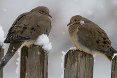 Оплакивая пары голубя в шторме Стоковая Фотография