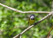 Оплакивая певчая птица Стоковое фото RF