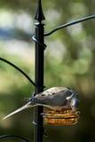 Оплакивая подавать голубя (macroura Zenaida) Стоковая Фотография