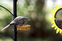 Оплакивая подавать голубя (macroura Zenaida) Стоковые Изображения