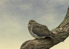 Оплакивая утро лета голубя Стоковое Фото