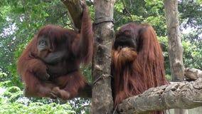 2 орангутана Стоковая Фотография