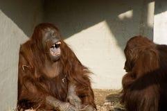 Орангутаны Стоковые Изображения RF