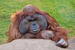 Орангутан взрослого мужчины Стоковая Фотография