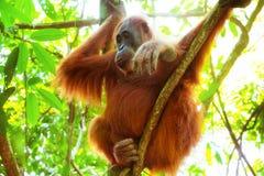 Орангутан в естественной среде обитания Суматра, Индонесия стоковые изображения