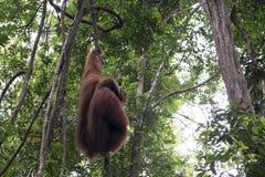 Орангутан в джунглях sumatra стоковые изображения