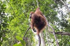 Орангутан в джунглях sumatra стоковые фотографии rf