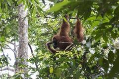 Орангутан в джунглях sumatra стоковое изображение