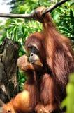 Орангутан в зоопарке Сингапура стоковая фотография