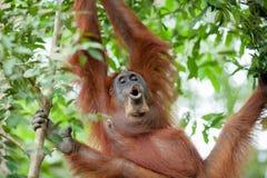 Орангутан в Суматре Стоковое Изображение