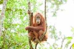 Орангутан в Суматре Стоковое Фото