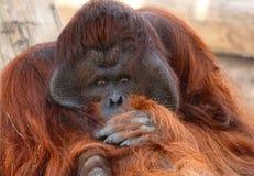 Орангутан глубокий мыслитель стоковое изображение rf