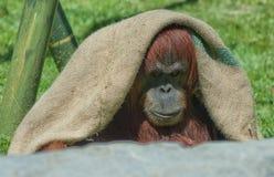 Орангутан держит холодный, зоопарк Сан-Диего Стоковое фото RF