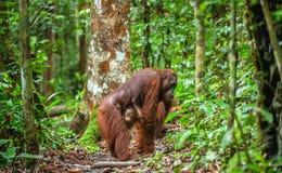Орангутан и мать младенца в естественной среде обитания Стоковое Изображение