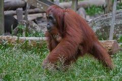 Орангутан матери двигает, держащ ее младенца (Индонезия) стоковые фотографии rf