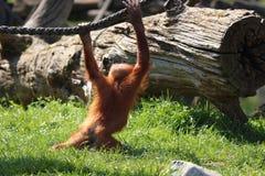 Орангутан младенца играя в зоопарке в Германии стоковые изображения