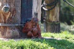 Орангутан младенца играя в зоопарке в Германии стоковые фотографии rf