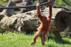 Орангутан младенца играя в зоопарке в Германии стоковая фотография rf
