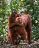 Орангутан младенца сидит на его mother& x27; задняя часть и взгляды назад & x28 s; Bohorok Стоковое Изображение