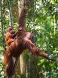 Орангутан младенца сидит на его mother& x27; задняя часть и взгляды s на photog Стоковые Изображения RF