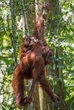 Орангутан младенца сидит на его mother& x27; задняя часть s и думает etern Стоковое Фото