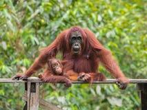 Орангутан младенца смотря камеру (Индонезия) стоковое фото rf