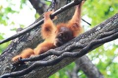 Орангутан младенца Стоковые Изображения