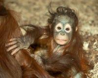 Орангутан младенца Стоковые Фотографии RF