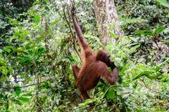 Орангутан отбрасывая в деревьях Стоковая Фотография RF
