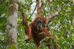 Орангутан 2 пряча среди листьев зеленого цвета & x28; Суматра, Indonesia& x29; Стоковое Фото