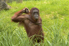 Орангутан чувствует утомленным Стоковые Фото