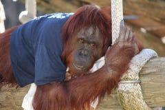 Орангутан Стоковое Фото